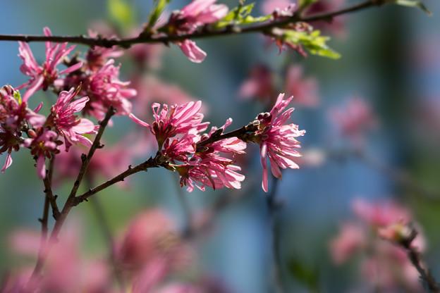 神代植物公園【ハナモモ菊桃】2