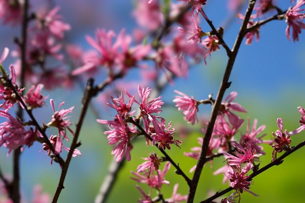 神代植物公園【ハナモモ菊桃】3