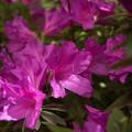 庭の花【ツツジ】1