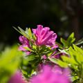 庭の花【ツツジ】2