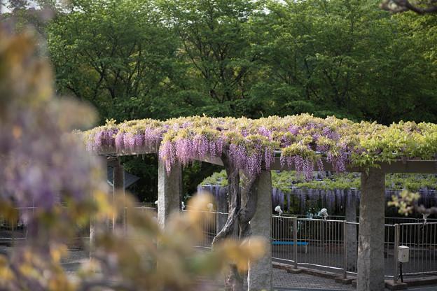 ふじの咲く丘の眺め【まだ6~7分咲きでした】