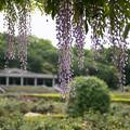 Photos: 神代植物公園【藤の花】1