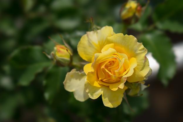 神代植物公園【薔薇:つる・ゴールド・バニー】
