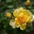 Photos: 神代植物公園【薔薇:つる・ゴールド・バニー】