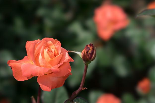 神代植物公園【薔薇:マジョレット】