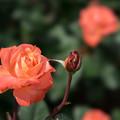 Photos: 神代植物公園【薔薇:マジョレット】