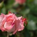 神代植物公園【薔薇:チェリッシュ】