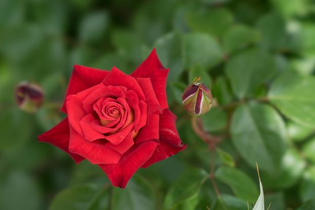 神代植物公園【薔薇:かがやき】
