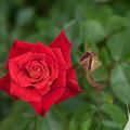 Photos: 神代植物公園【薔薇:かがやき】