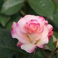 神代植物公園【薔薇:マチルダ】