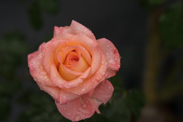 生田緑地ばら苑【薔薇:ケニギン・ベア・トリックス】