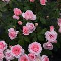 生田緑地ばら苑【薔薇:プリンセス・アイコ】1