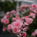 生田緑地ばら苑【薔薇:プリンセス・アイコ】2