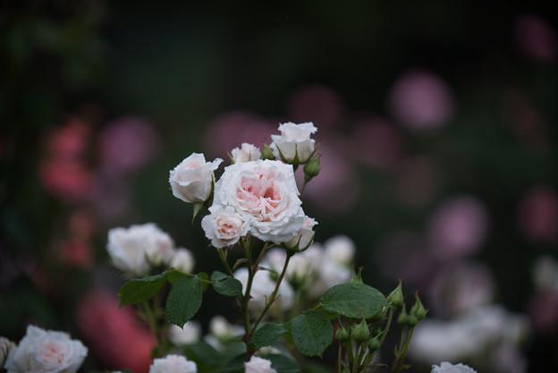 生田緑地ばら苑【薔薇:ピンク・シフォン】