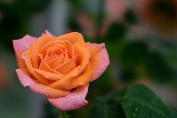 生田緑地ばら苑【薔薇:ルーピング】