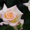 生田緑地ばら苑【薔薇:ガーデン・パーティ】