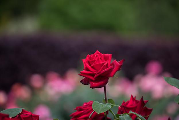花菜ガーデン【薔薇:熱情】1
