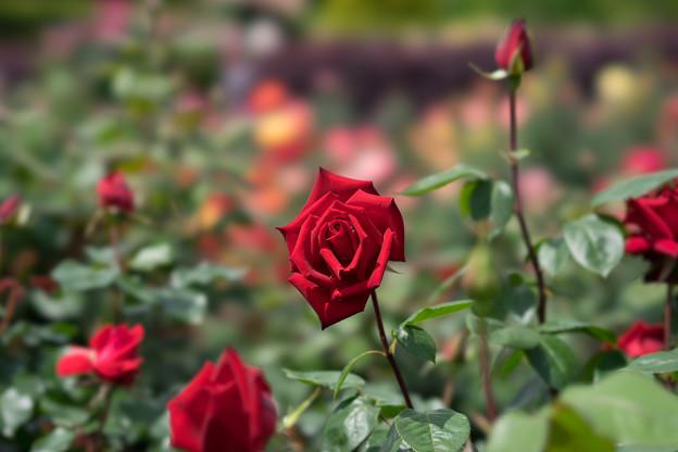 花菜ガーデン【薔薇:熱情】2