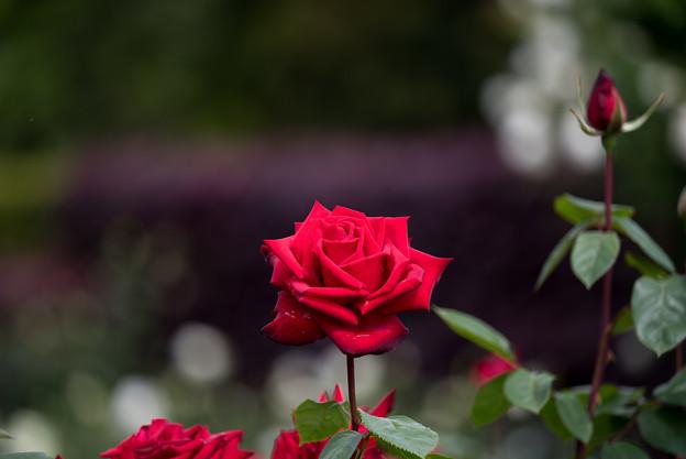 花菜ガーデン【薔薇:熱情】3