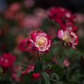 Photos: 花菜ガーデン【薔薇:ダブル・ディライト】1