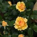 花菜ガーデン【薔薇:アンバークイーン】1