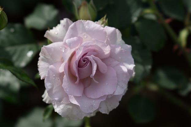 花菜ガーデン【薔薇:ニュー・ウェーブ】