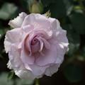 Photos: 花菜ガーデン【薔薇:ニュー・ウェーブ】