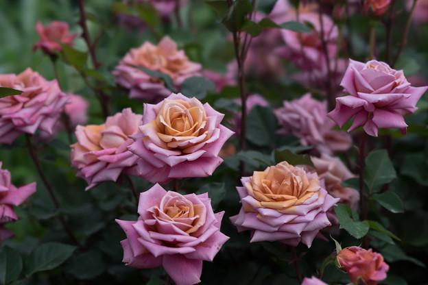 YEG【薔薇:禅】1