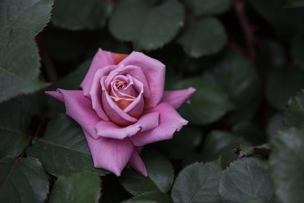 YEG【薔薇:禅】3