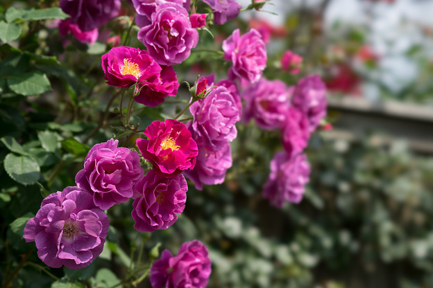 YEG【薔薇:プリンセス・シビル・ドゥ・ルクセンブルグ】2