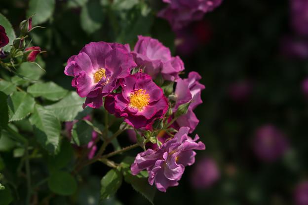 YEG【薔薇:プリンセス・シビル・ドゥ・ルクセンブルグ】4