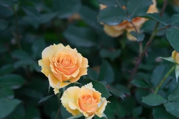 YEG【薔薇:インドラ】2