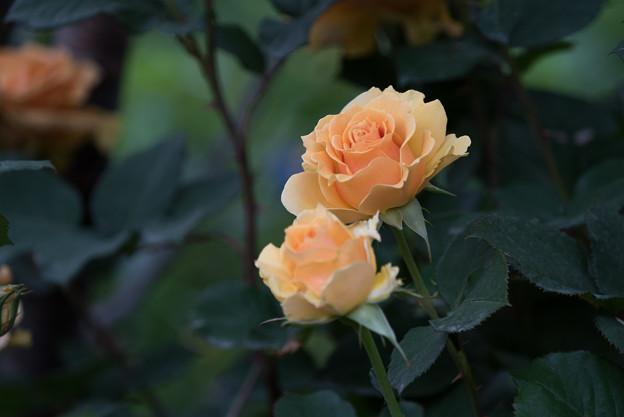 YEG【薔薇:インドラ】3