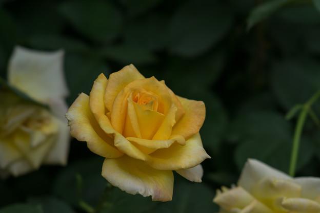 YEG【薔薇:ゴールド・メダル】