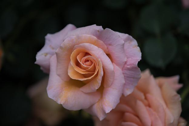 YEG【薔薇:スペシャル・オケージョン】