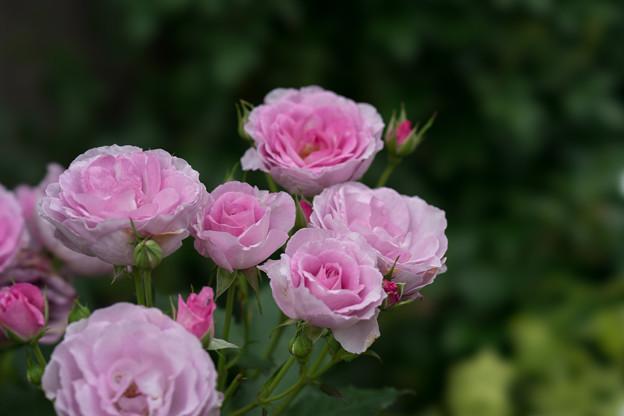 YEG【薔薇:ブルー・パフューム】