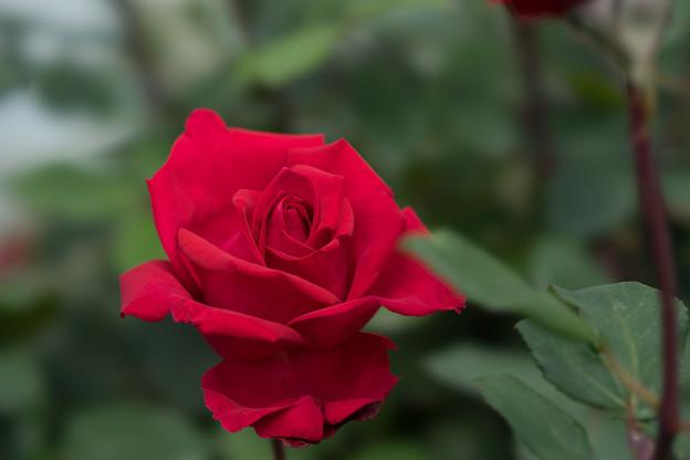 YEG【薔薇:クリスチャン・ディオール】
