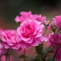 大船植物園【薔薇:うらら】3