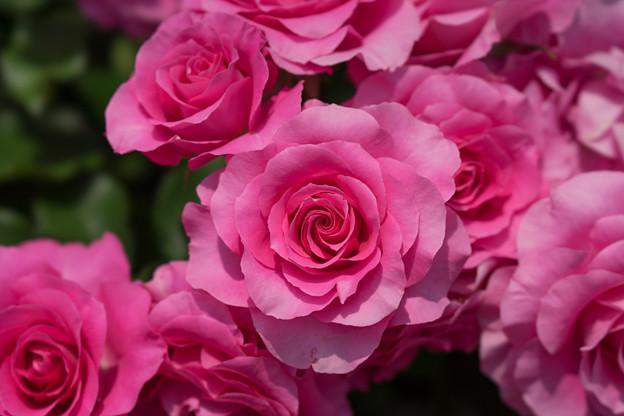 大船植物園【薔薇:うらら】4