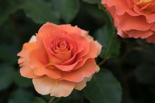 大船植物園【薔薇:ブラスバンド】6