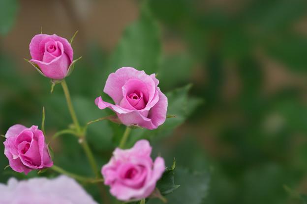 大船植物園【薔薇:コティリオン】2