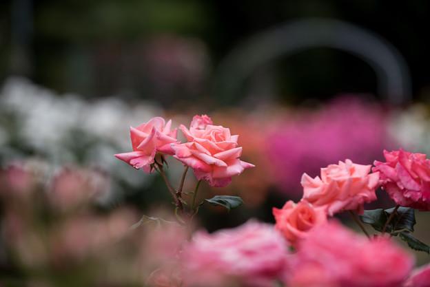 大船植物園【薔薇:湘南ファンタジー】