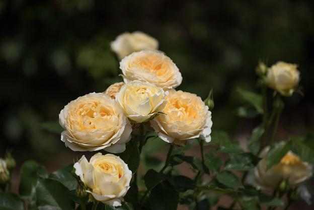 大船植物園【薔薇:キャラメル・アンティーク】