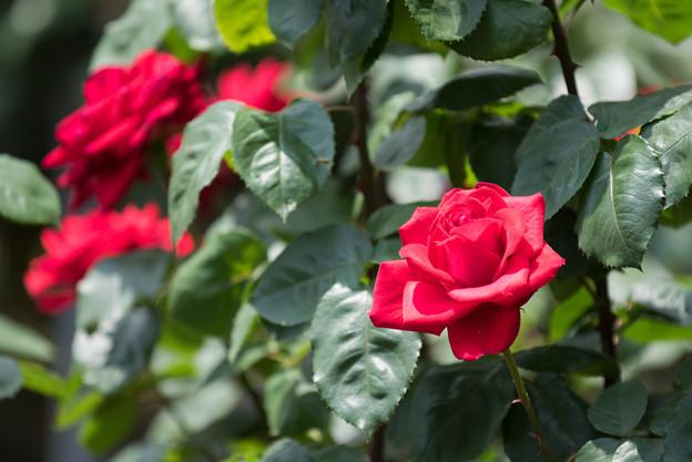 大船植物園【薔薇:アントニア・リッジ】