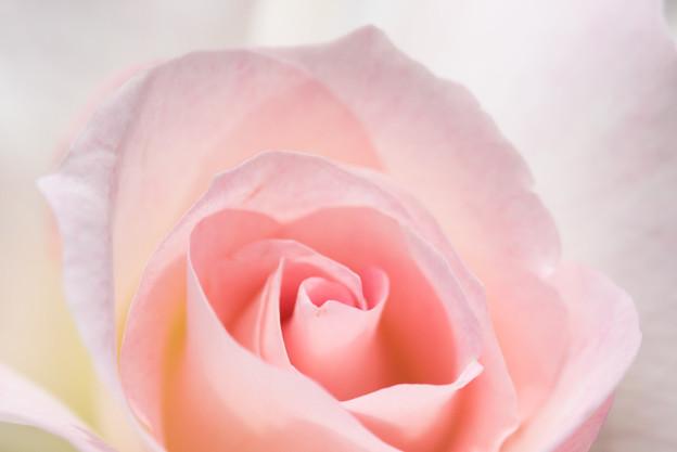 大船植物園【薔薇:マチルダ】2