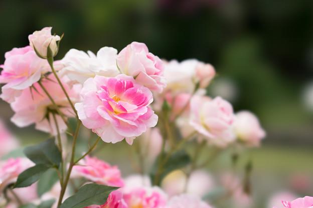 大船植物園【薔薇:春の舞】