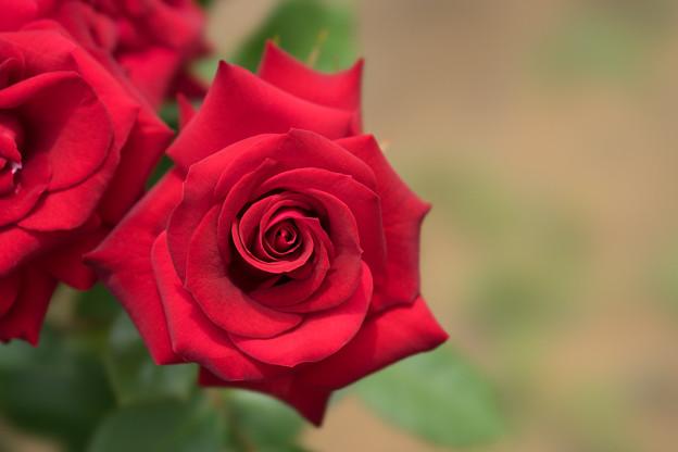 大船植物園【薔薇:ニコロ・パガニーニ】1