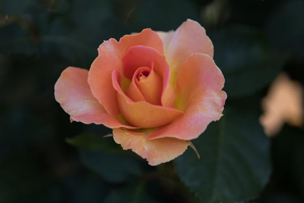 谷津バラ園【薔薇:ブラスバンド】2