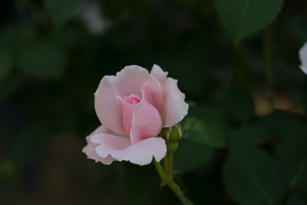 谷津バラ園【薔薇:マグレディス・イエロー】1