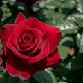 Photos: 谷津バラ園【薔薇:シュワルツ・マドンナ】